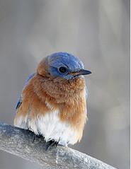 Eastern-Bluebird-131 (egdc211) Tags: bird nature birdwatcher backyardbirding naturewatcher connecticutbird newenglandbird