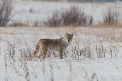 Coyote on the hunt