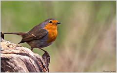 Pettirosso (Fausto Deseri) Tags: wild nature robin birds erithacusrubecula wildlife pettirosso sigma400mmf56apotelemacro oasiditivolimanzolino pentaxk3 sitodimanzolino