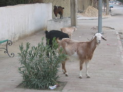 Goats on the Streets of Tozeur