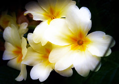 primrose dreamy (sean and nina) Tags: park pink wild summer white flower color green nature floral beautiful beauty grass yellow closeup bulb garden emblem easter season leaf spring stem flora colorful bright blossom gardening head vibrant background seasonal decoration grow fresh celebration growth gift fragrant bunch bloom bouquet delicate botany freshness springtime blooming primrose primroses