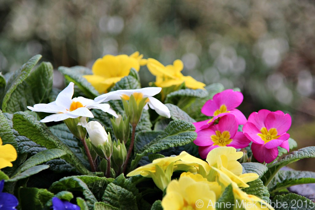 The World 39 S Best Photos Of Fleur And Primrose Flickr