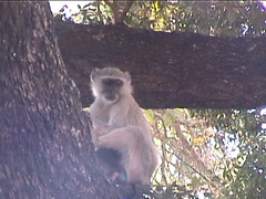 Yellow Vervet Monkey with Bright Blue Balls