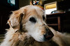 IMG_9016.jpg (VoelkSwaggin) Tags: dog dogs goldenretriever canon golden sleepy canonefs1855 vsco canoneos7d canonefs1855mmf3556is canon7d