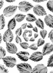 57407.03 Lamium galeobdolon (horticultural art) Tags: blackandwhite bw leaves spiral lamium lamiumgaleobdolon horticulturalart
