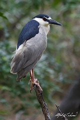 Black-crowned Night-Heron (Alfred J. Lockwood Photography) Tags: morning bird heron nature dallas spring texas overcast perch rookery blackcrownednightheron alfredjlockwood