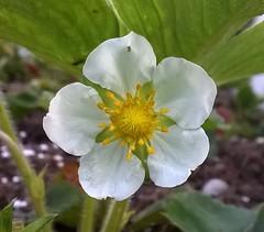 White Flower 001 (Sensation Art Gallery) Tags: white flower nature yellow garden star whiteflower petals flowerhead yellowandwhiteflower