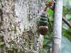 Khao Sok NP (Jungle Trek), Thailand (Jan-2016) 18-086 (MistyTree Adventures) Tags: insect thailand seasia outdoor jungle panasoniclumix lanternbug khaosoknp