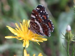 Butterfly  / Schmetterling (Paul 49 55) Tags: neuberg burgenland austria sterreich oesterreich butterfly insect schmetterling insekt