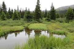 Wetland (Patricia Henschen) Tags: alberta canada bowlake bowglacier bowfalls bow lake glacier falls mountains numtijahlodge icefieldsparkway banff parkscanada parcs nationalpark reflection wetland wildflowers wildflower