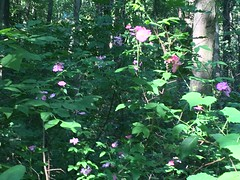 Prairie or Climbing Rose (Stylurus) Tags: michigan lodi township prairie oaks climbing rose rosa setigera