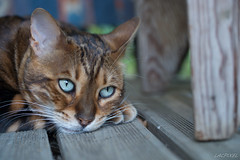 Monsieur Chonchon (LACPIXEL) Tags: look cat eyes nikon chat flickr colours couleurs colores yeux ojos gato rest fx mirada descanso regard repos d4s nikonfrance lacpixel