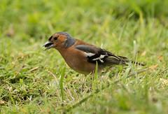 Chaffinch (.Hogan.) Tags: bird nature birds scotland nikon wildlife birding chaffinch dumfriesgalloway fringilla coelebs 300mmf4 sandyhills d810