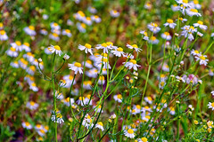 Camomile Field (Alfred Grupstra Photography) Tags: flowers camomile nature plants