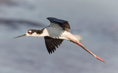 Black Necked Stilt (tresed47) Tags: 2016 201607jul 20160718bombayhookbirds birds bombayhook canon7d content delaware folder peterscamera petersphotos places stiltblacknecked takenby us waders
