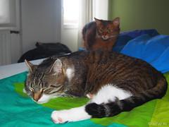 What is he doing in my bed? - Explored 14.07.2016, #356 (Finn Frode (DK)) Tags: pet cats animal cat denmark bed sleep watch indoor olympus som somali mixedbreed somalicat bastian domesticshorthair caithlin omdem5 dusharacathalcaithlin