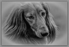 IMG_7407a - Gonzo (Arne J Dahl) Tags: dog animal canon dachshund hund frame longhaireddachshund gravhund photoborder canon5dmarkll langhretgravhund