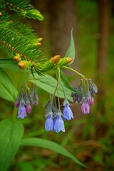 Bluebells & Spruce Buds - Fujifilm MCEX-11 Macro Adapter (MIKOFOX  Show Your EXIF!) Tags: canada flower june spring yukon wildflower spruce colorblue xt1 fujifilmxt1 xf18135mmf3556rlmoiswr mikofox fujifilmmcex11macroadapter
