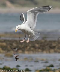 'Dropping it's Catch' (bluestarphoto7) Tags: bird beach nature wildlife gull flight crab dropping canon400mmf56 canon7dmarkii