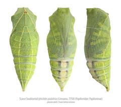 Scarce Swallowtail pupa (Franziska Bauer) Tags: summer july lepidoptera pupa metamorphose papilionidae segelfalter iphiclidespodalirius