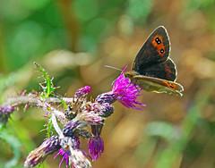 Scotch Argus Butterfly (eric robb niven) Tags: ericrobbniven scotland scotch argus wildlife nature glenlyon perthshire summerwatch