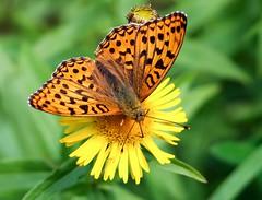 Kaisermantel (Argynnis paphia) (to.wi) Tags: falter schmetterling butterfly towi kaisermantel argynnispaphia makro macro blume flower