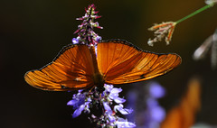 Colours of Summer - Explored 17. Aug. 2016 (Nephentes Phinena ☮) Tags: botanischergartenkiel butterfly kiel nikond300s schmetterlinge