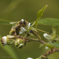 Another bee / noch ne Biene (Andy .r.r) Tags: blau bee biene green grn plant pflanze himbeere raspberry nature natur auge eye insect insekt extentiontube makroring