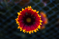 flower and chicken wire (ewitsoe) Tags: wlodawa poalnd ewitsoe nikond80 35mm street flower wire fence fun easternpoland beauty top colorful summer