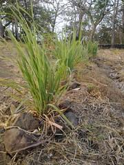 lemon grass (Sasha India) Tags:              ometepeisland ometepe nicaragua journey travel             eljardindelavida puntagorda balgue