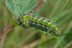 Emperor (Philip McErlean) Tags: emperor moth saturnia pavonia caterpillar larva greenblack orange nikon d3200 raynox dcr150 dcr 150 macro slievenacloy belfast hills northern ireland