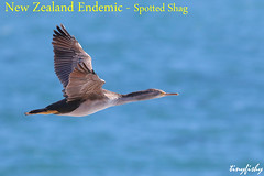 (#797b) Endemic Spotted Shag Juvenile - [ Dunedin, New Zealand ] (tinyfishy's World Birds-In-Flight) Tags: stictocarbo punctatus spotted shag cormorant endemic new zealand