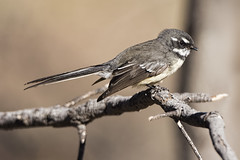 Grey Fantail 2016-06-13 (60D_1563) (ajhaysom) Tags: greyfantail rhipiduraalbiscarpa australianbirds woodlandshistoricpark greenvale melbourne australia canoneos60d sigma150600
