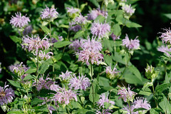 Wild Bergamot (Monarda fistulosa) (KristenMartyn) Tags: flower nativeplants gardening garden indoorplants plants flora ontario outdoor tour tours wildflower wildflowers nativeplant wildbergamot bergamot monardafistulosa