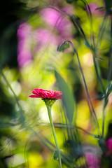 Wild Beauty (Gr@vity) Tags: flower tele nature pentax k1 dof bokeh smcpentaxfa80320mmf4556
