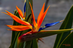Bird of Paradise-1 (kenanderson1) Tags: tampa