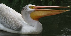 The American white pelican (Pelecanus erythrorhynchos) (Mel's Looking Glass) Tags: the american white pelican pelecanus erythrorhynchos