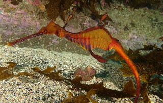 Weedy Sea Dragon - 27th August 2016.