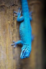 Turquoise dwarf gecko (Tambako the Jaguar) Tags: gecko reptile lizard blue turquoise dwarf branch wood upsidedown jonskleinefarm kallnach bern zoo switzerland nikon d5