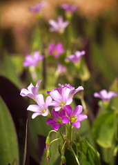 Grass-level Perspective (SteveFrazierPhotography.com) Tags: puntagordaisles charlottecounty florida fl usa flowers may summer 2016 stevefrazierphotography closeup macro beautiful weeds lawn blossoms flowering petals pink purple small tiny perpective outdoor outside plants