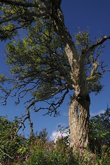 An der Alten Eisenbahnbrcke ber die Treene - Alter Holunder (Sambucus nigra); Norderstapel, Stapelholm (3) (Chironius) Tags: stapelholm norderstapel schleswigholstein deutschland germany allemagne alemania germania    ogie pomie szlezwigholsztyn niemcy pomienie asterids campanuliids kardenartige dipsacales moschuskrautgewchse adoxaceae holunder sambucus baum bume tree trees arbre  rbol arbres  rboles albero  rvore aa boom trd borke rinde ladrido corce corteccia schors  hout bois holz wood legno madera landschaft