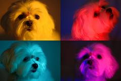 15813 - 22 - 41 - 46 - Kira Warhol (Diego Rosato) Tags: kira cani animali nikon d700 85mm kenko teleconverter gimp dogs pets animals andy warhol pop art luci lights giallo rosso blu viola yellow red blue violet collage