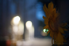 Sunflower lights (artseejodee) Tags: bokeh color lights flowers sunflowers 50mm canon flowersplants summer blue cloudy colors dusk evening f18 flower light nature nj overcast primary red sunflower yellow