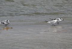 Florida Birds - Terns (Neal D) Tags: florida jupiter jupiterinlet bird tern sandwichtern thalasseussandvicensis