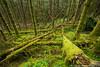 Pine Marten Territory (Alastair Marsh Photography) Tags: pine pinemarten pinemartens pineforest forest moss primeval primevalforest woodland woods wood scotland scottishwildlife landscape landscapephotography scottishhighlands