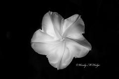 Moonflower (wmhodge) Tags: monochrome flower night wendyhodge pulaskivirginia pulaskiva blackandwhite black white glow plant moonflower