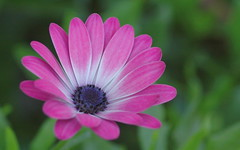Candy Pink (shelley.sparrow) Tags: shelleysparrow brisbane queensland australia nikon bloom pink beauty garden nature dreamy bokeh colourful spring petals blossom softfocus daisy candypink colourfulnature macro macroflowers floral 11thseptember