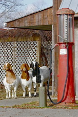 Goats & Visible   Gas Pump (beccafromportland) Tags: gas goats critters bearcreekfarms visiblegaspump