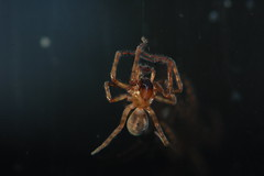 Arachnid New Year - A male Amaurobius sp. is my first diurnal spider of 2015 (Procrustes2007) Tags: uk england male spider suffolk britain wildlife arachnid flash nikond50 sudbury invertebrate wildlifephotography tamron2xteleconverter nikkor50mmais amaurobiussp vivitarextensionrings68mmtotal d50macro02012015