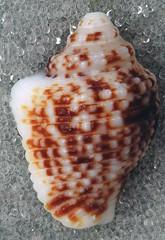 Columbella mercatoria (West Indies dove snail) (San Salvador Island, Bahamas) 1